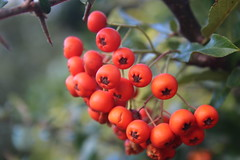 Feuerdorn (mono:chrom) Tags: orange botanic citygarden stadtgarten herbst september landscape garden garten frucht früchte beeren farbe firethorn fruits nature