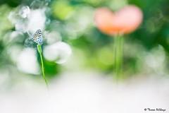 """ Coeur de Coquelicot "" / "" Heart's Poppy "" (Thomas Delahaye) Tags: canon ngc wildlife azuré orpin proxi bokeh poppy heart coeur 100mm thomas delahaye insect butterfly papillon fleur flower"