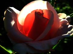 Morning. (ALEKSANDR RYBAK) Tags: утро роза цветок лепестки листья солнечный свет луч тени макро крупный план morning rose flower petals leaves solar shine ray shadows macro closeup