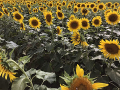 "sunflowers (""One who sits by the fire"") Tags: fibonacci fibonaccisequence yellow field fieldofsunflowers sunflowers summer summertime"