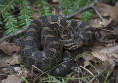 Eastern Massasauga Rattlesnake (Nick Scobel) Tags: eastern massasauga rattlesnake sistrurus catenatus rattler venomous snake pit viper fangs rattle coiled defensive cryptic pattern