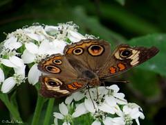Buckeye Butterfly (~~Chuck's~~Photos~~) Tags: chucksphotos canonsx60camera buckeyebutterfly aroundthefarm spring outdoors kentuckyphotos insects wildflowers closeups explorekentucky ourworldinphotosgroup photosthruyourlensgroup earthwindandfiregroup solidarityagainstcancergroup