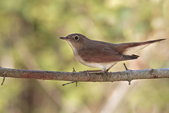 Usignolo - Luscinia megarhynchos (Marcello Giardinazzo) Tags: usignolo wild natura avifauna birds bird uccelli italia