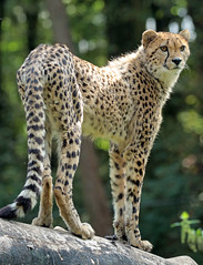 cheetah Burgerszoo JN6A7959 (j.a.kok) Tags: animal africa afrika cat kat mammal zoogdier dier cheetah jachtluipaard predator acinonyxjubatus acinonyxjubates