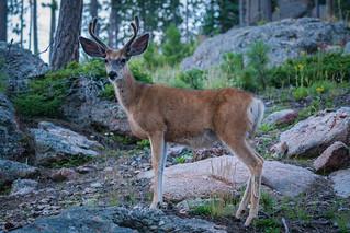 Ears vs. Antlers