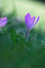 Colchique (jpto_55) Tags: fleur colchique proxi bokeh xe1 fuji fujifilm omlens om85mmf2 hautegaronne france