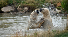 splash (dan487175) Tags: bear polarbear orso water splash rippels waves white blacknose whiteteeth teeth slap paws claws wetfur wet pool pond hug nikon nikond4300 rocks grass zoo yourkshire wildlifepark cute roughplay playfight green greengrass ears muzzle
