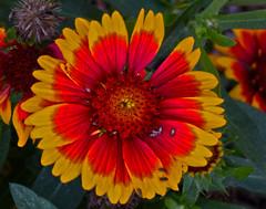 Let the Sunshine In (oybay©) Tags: arizonasunflower arizona gaillardia sunflower daisy flower flora fleur fiori blumen bokeh fantastic plant macro mundspark summer red yellow orange bugs