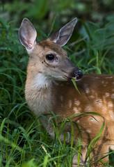 082618154978asmweb (ecwillet) Tags: deer fawn wildwoodparkharrisburgpa nikon nikond500 nikon200500f56 ecwillet