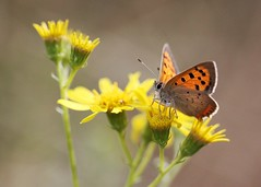 Small Copper (WLE 17) Tags: copper small butterfly flowers warnham reserve nature local west sussex