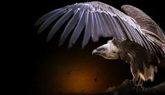 white-headed griffon vulture (mad_airbrush) Tags: 5d 5dmarkiii animals tier vogel zoo geier griffon nature 70200mm ef70200mmf28lisusm composing ps cc psart