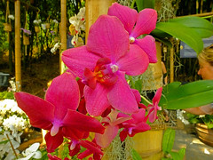 Pink Orchids (Cornishcarolin. Stupid busy!! xx) Tags: cornwall httpswwwedenprojectcom nature flowers plants orchids