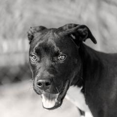 sid02Sep201824-Edit.jpg (fredstrobel) Tags: dogs pawsatanta phototype atlanta blackandwhite usa animals ga pets places pawsdogs decatur georgia unitedstates us