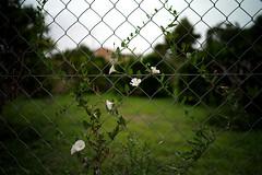 (dsevilla) Tags: dsevilla leica m9 voigtländer 28mm 19 flor flower mula murcia españa spain