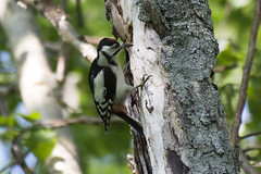 Great Spotted Woodpecker (Sergey Yeliseev) Tags: greatspottedwoodpecker dendrocoposmajorkamtschaticus большойпестрыйдятел dendrocoposmajor