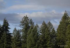 Morning Walk (Joan Gray) Tags: morningwalk firtrees clouds