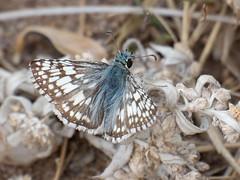 Common Checkered White, Pyrgus communis (Marv and Sue Elliott) Tags: commoncheckeredwhite pyrguscommunis 2018 summer butterfly custerstatepark southdakota