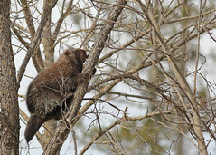 Porcupine...#5 (Guy Lichter Photography - 4.2M views Thank you) Tags: porcupine canon 5d3 canada manitoba pinawa wildlife animals rodent