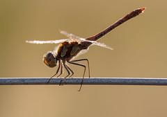 Schönheit in Rot (KaAuenwasser83) Tags: libelle rot insekt schönheit fein zart makro draht zaun metal wildnis wild naturschutzgebiet natur schutzzone spätsommer