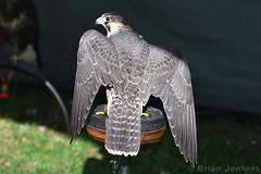 Peregrine Falcon (Bri_J) Tags: chatsworthcountryfair2018 chatsworthhouse edensor derbyshire uk chatsworth countryfair nikon d7500 peregrinefalcon falcon bird birdofprey falcoperegrinus