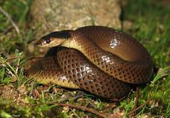 Little Whip Snake (Parasuta flagellum) (Heleioporus) Tags: little whip snake parasuta flagellum melbourne victoria