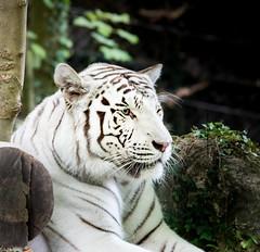 Zoo Beauval (GL Showa) Tags: zoo zoobeauval félin tigre
