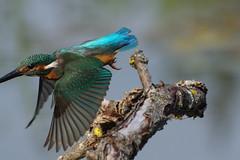 K32P3871c millimetres of despair!, Kingfisher, Lackford Lakes, September 2018 (bobchappell55) Tags: lackfordlakes wild wildlife nature suffolk bird kingfisher alcedoatthis