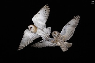 Bufo-pequeno, Long-eared Owl(Asio otus) vs Coruja-das-torres, Barn Owl (Tyto alba)