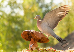 wood pigeon standing on a mushroom with wings out (Geert Weggen) Tags: animal autumn bright bud cheerful closeup cute flower foodanddrink horizontal humor land lightnaturalphenomenon mammal moss mushroom nature perennial photography plant red springtime summer sweden tasting toadstool fun fight fall couple attack young dove bird wood pigeon fly wing air bispgården jämtland geert weggen ragunda hardeko