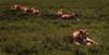 L I O N S (David Ruiz Luna) Tags: lions leones manada family group ngorongoro crater ngorongorocrater cráter volcanic caldera calderavolcánica savanna sabana africa thebigfive los5grandes tanzania safari ngorongoroconservationarea arusha protectedarea worldheritagesite zonadeconservacióndengorongoro zonaprotegida patrimoniodelahumanidad espectáculonatural escenario outdoors green verde nationalpark ecosystem ecosistema naturephotography unitedrepublicoftanzania naturaleza turismo travel trip touraroundtheworld viajar naturelover beautyinnature beauty belleza scenic felidae felino feline catlike carnivorous carnívoro lioness leonas female male macho hembra