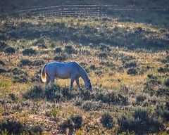 The Morning Grazing (jimmy.stewart40) Tags: landscape animal horse nature grass sagebrush dawngrazing eating white fence outdoors field