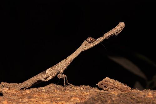 Bark Praying-Mantis