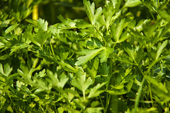 Parsley (LongInt57) Tags: food herb vegetable parsley leaf leaves garden growing outdoor green nature kelowna bc canada okanagan