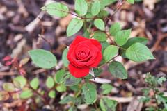 DSC_0959 (PeaTJay) Tags: nikond750 sigma reading lowerearley berkshire macro micro closeups gardens outdoors nature flora fauna plants flowers rose roses rosebuds