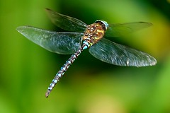 Hovering (otterdrivernw) Tags: closeup macro xf100400 fujix fuji fujifilm biwing fly insects bugs dragonfly dragonflies