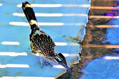 Thirsty roadrunner (thomasgorman1) Tags: water roadrunner nikon nature drinking colorful light ground birds baja mx mexico