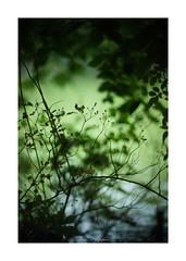 2018/8/2 - 14/15 photo by shin ikegami. - SONY ILCE‑7M2 / 七工匠  7artisans 50mm f1.1 (shin ikegami) Tags: macro マクロ 井の頭公園 吉祥寺 summer 夏 asia sony ilce7m2 sonyilce7m2 a7ii 50mm 七工匠 7artisans 7artisans50mmf11 tokyo photo photographer 単焦点 iso800 ndfilter light shadow 自然 nature 玉ボケ bokeh depthoffield naturephotography art photography japan earth