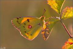 @ sunset (Luciano Silei - sky7) Tags: coliascrocea colias colors butterfly sunset macro closeup bokeh lucianosilei canon7d sigma150macro