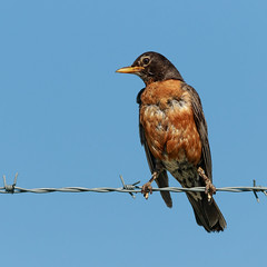 Ragged Robin (Lynn Tweedie) Tags: beak tail americanrobin wing brown ngc animal blue 7dmarkii feathers orangle sigma150600mmf563dgoshsm bird sky missouri eos eye leessummitmunicipalairport canon