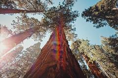 Forest. Sequoia National Park, USA (Marji Lang Photography) Tags: america americanlandmark americannationalpark beautyinnature california giantsequoia giantsequoias highsierra leisureactivity lifestyles majestic nationallandmark naturallandmark nonurbanscene northamerica outdoors scenicsnature sequoia sequoiakingscanyonnationalparks sequoianationalpark sequoiatreeadventurenationallandmarksequoianat sierranevada traveldestinations usa unitedstates unitedstatesofamerica woodland adventure colorimage daylight environment forest foresttrail gianttrees holidaydestination horizontal idyllic landscape nationalpark nature naturetrail nopeople rainbow rainbows rayoflight sequoiatree sequoiatrees skyview sunflare trail tranquility traveldestination tree treetrunk upward upwardshot upwardview