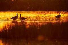Magic light (generalstussner) Tags: graugänse gänse geese goose light magical magic beautiful sunset nature natur wildlife pond water gegenlicht lichtstimmung canon