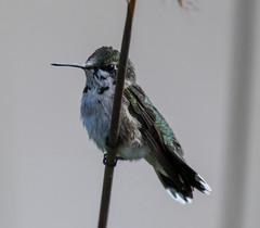 Ruby-throated Hummingbird (Archilochus colubris) (mesquakie8) Tags: bird hummingbird flyingorsittingonplants periodicallyflashingitsgorget juvenilemale rubythroatedhummingbird archilochuscolubris rthu dixonwaterfowlrefugehennepinhopperlakes putnamcounty illinois 1371