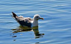 Le ventre au frais (Diegojack) Tags: vaud suisse lausanne ouchy oiseaux goéland eau reflets d500 goutte bec details nikonpassion
