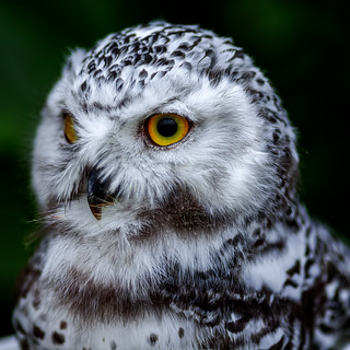 portrait-of-young-snowy-owl_080918