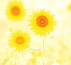 in the sun (petra.foto busy busy busy) Tags: überbelichtet sonnenblumen flower hell summer fotopetra canon natur naturfotografie sunset gelb art 5dmarkiii