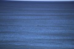 IMG_3596 (gervo1865_2 - LJ Gervasoni) Tags: surfing with whales lady bay warrnambool victoria 2017 ocean sea water waves coast coastal marine wildlife sealife blue photographerljgervasoni