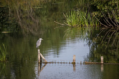 Alone (Mibby23) Tags: grey heron ardea cinerea bird wildlife nature college lake bbowt water canon 5dmk4 sigma 150600mm contemporary
