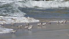 Sanderlings, Playa del Rey, CA CQ4A5391 (Hart Walter) Tags: ballonajetty playadelrey blackoystercatcher willet sanderling westerngull allenshummingbird blackturnstone surfbird