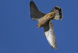 Kestrel (wild) - One of 40 species of Falcon around the world