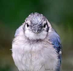 Juvenile Blue Jay (Diane G. Zooms---Mostly Off) Tags: bluejay jay wildbirds bluebirds wetbluejay bluejayinrain bluejayportrait longislandbirds dianegiurcophotography coth coth5 fantasticnature ngc npc